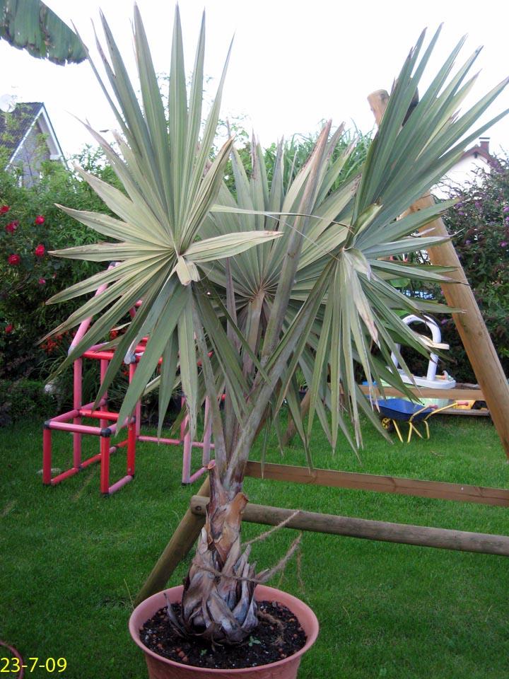 palmen und co update bismarckia nobilis. Black Bedroom Furniture Sets. Home Design Ideas