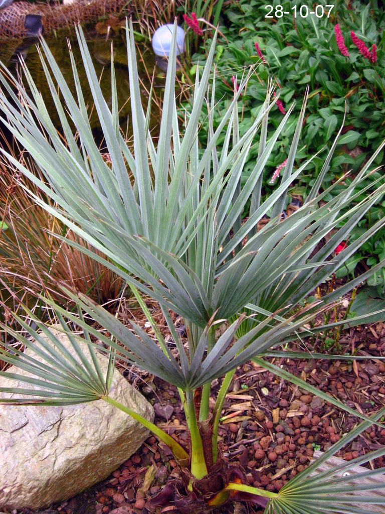 pflanze aus spanien ähnlich yucca