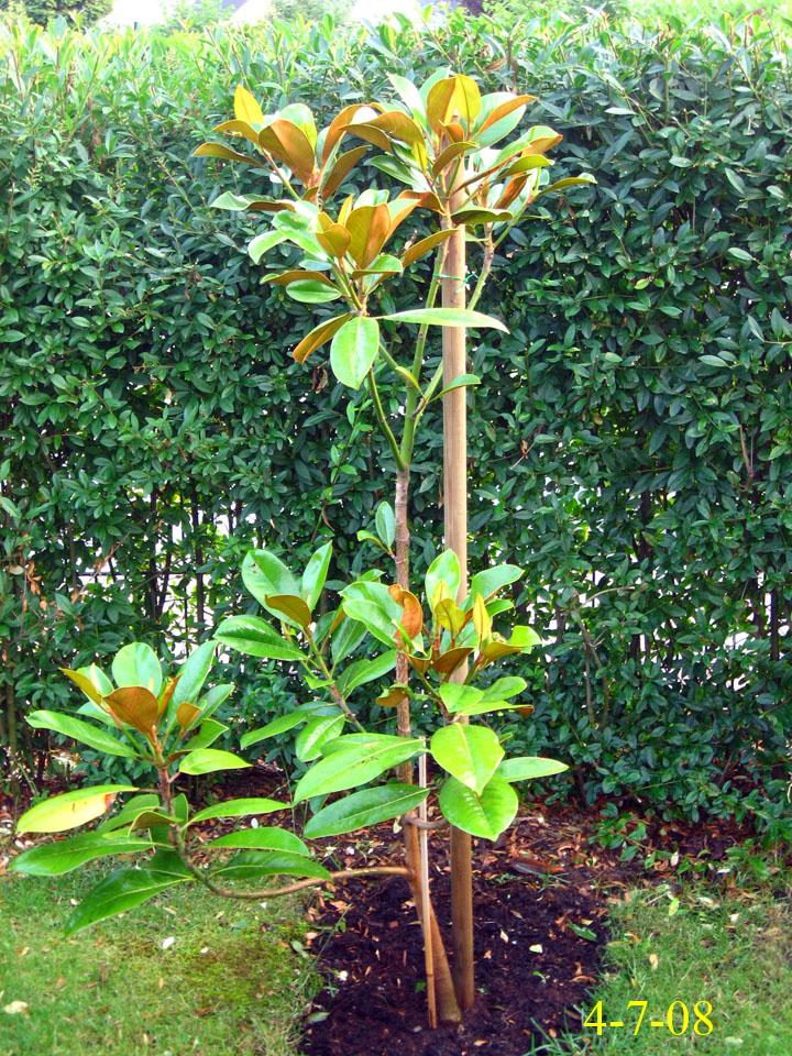 Magnolia grandiflora alta images - Magnolia grandiflora ...