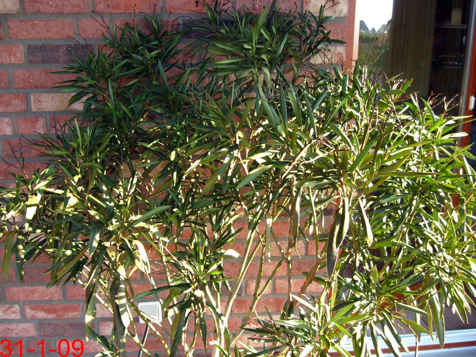 oleander exoten und palmen claus willich. Black Bedroom Furniture Sets. Home Design Ideas