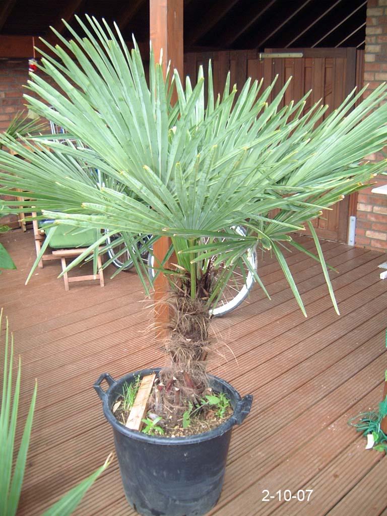 trachycarpus fortunei kronen wachstum seite 1 winterharte palmen. Black Bedroom Furniture Sets. Home Design Ideas