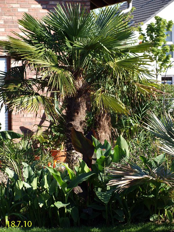 trachycarpus exoten und palmen claus willich. Black Bedroom Furniture Sets. Home Design Ideas